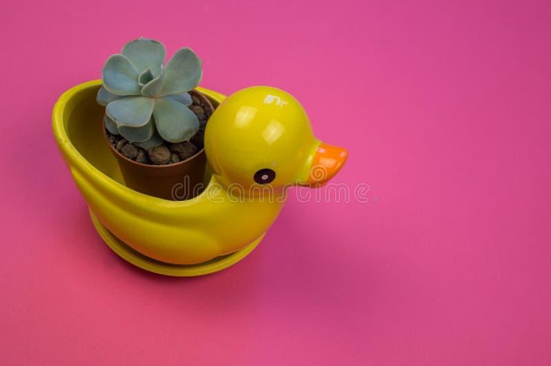 Кактус в баке утки цветка на розовой предпосылке стоковые фотографии rf
