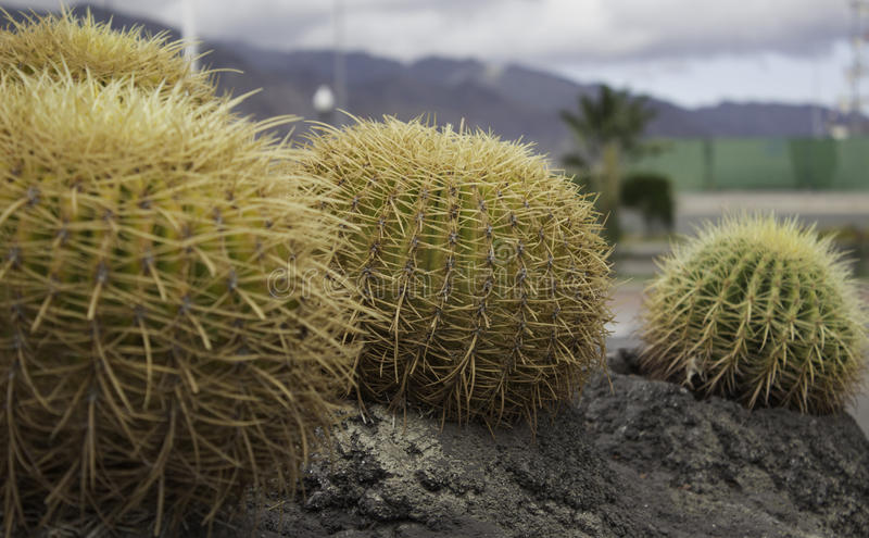 Кактус в Тенерифе стоковые фотографии rf
