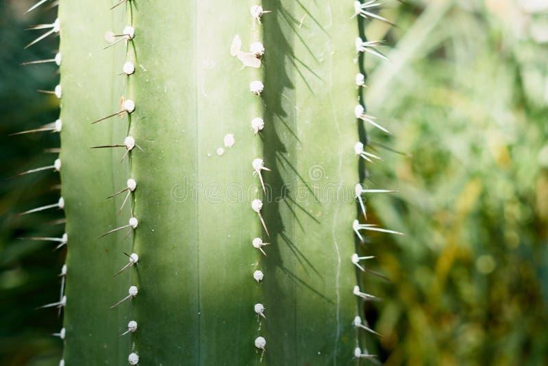 Кактус длинного зеленого цвета симпатично Зеленый цвет и красивое стоковые фотографии rf
