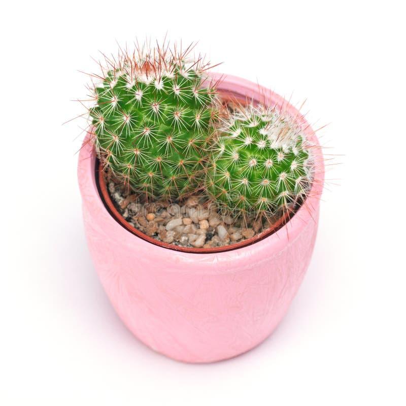 Кактус изолированный с путем клиппирования Вид спереди кактусов крупного плана в розовой керамической предпосылке белизны бака Ко стоковые фотографии rf