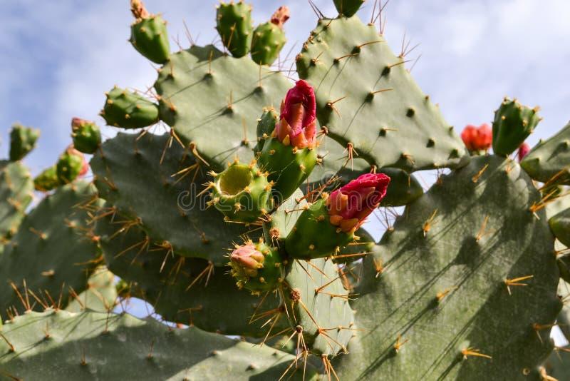 Кактус колючей груши с красными цветками стоковое изображение