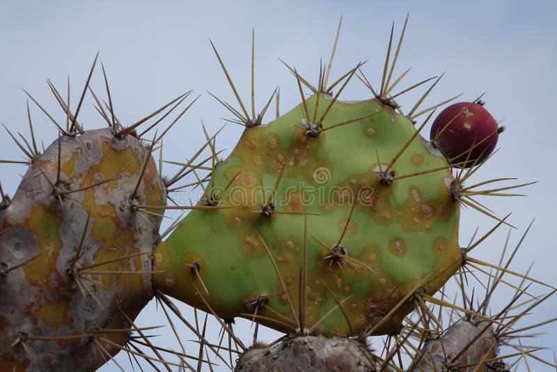 Кактус колючей груши с плодом с сериями текстуры Фуэртевентуры Испании стоковые фотографии rf