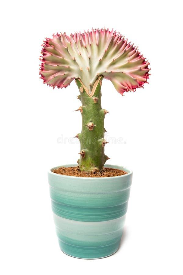 кактус на белой предпосылке стоковое изображение