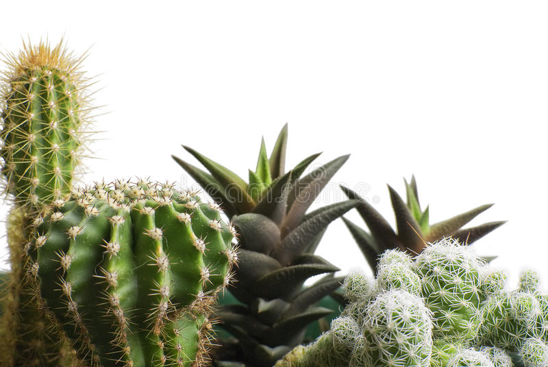 кактус пука стоковое фото