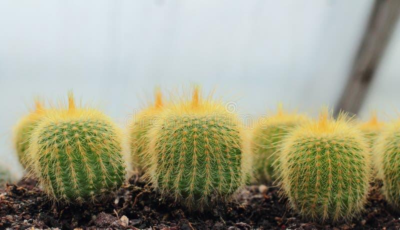 Кактус растя в парнике стоковое изображение rf