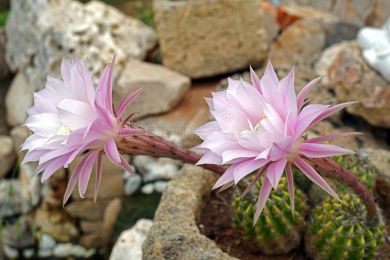 Кактус с цветками стоковая фотография