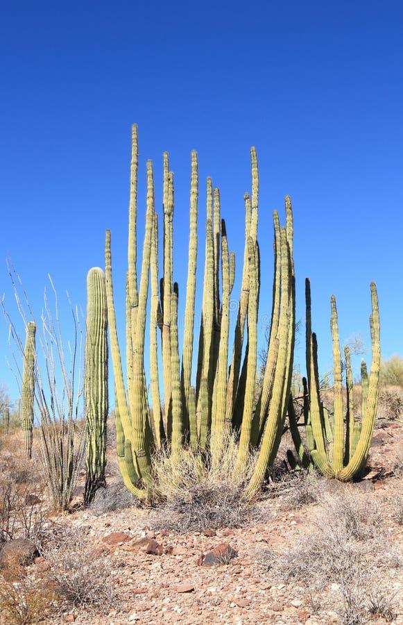 Кактус трубы органа в глуши пустыни Sonoran южной Аризоны стоковое фото