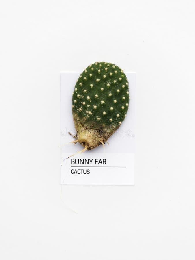 Кактус уха зайчика стоковая фотография