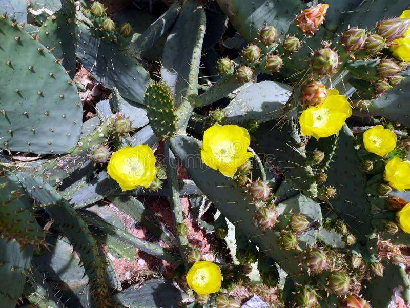 кактус цветеня полный стоковые фото
