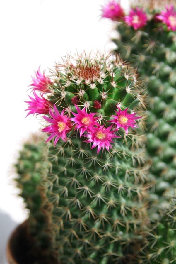 кактус цветет красный цвет стоковая фотография