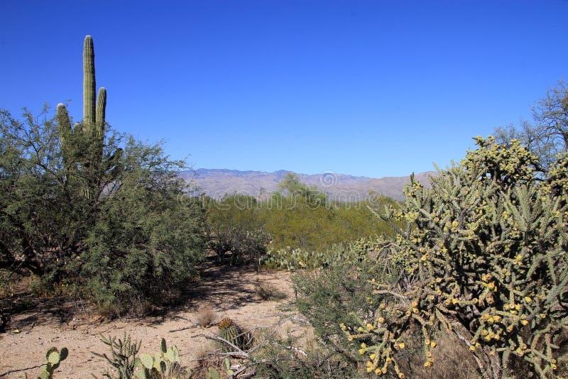 Download Кактус стоковое изображение. изображение насчитывающей saguaro - 81809171