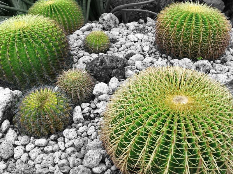 Download кактус стоковое фото. изображение насчитывающей сад, сух - 88568