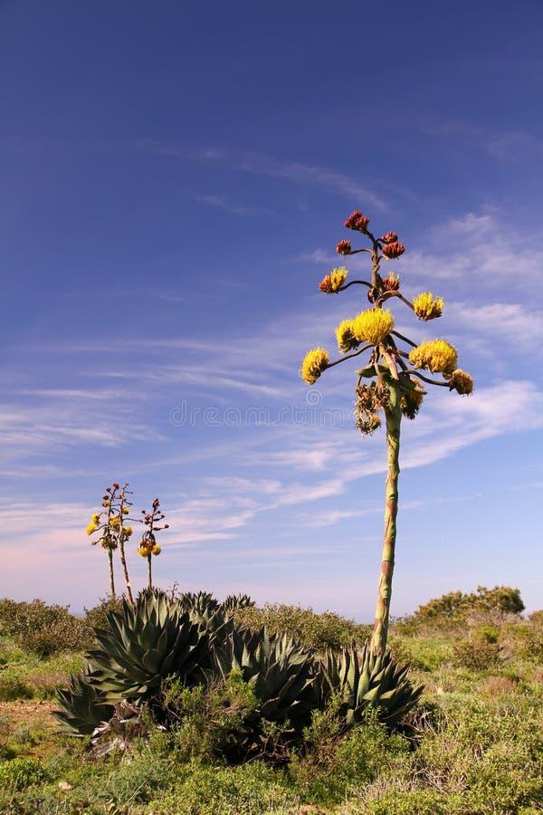кактус bloomin стоковое фото rf