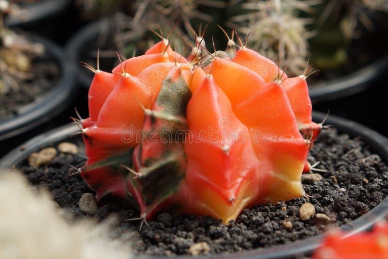 Кактус Gymnocalycium стоковая фотография