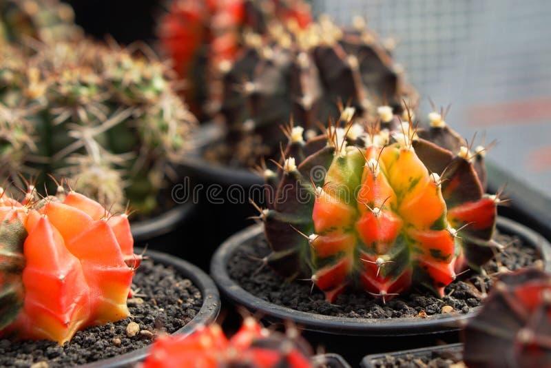 Кактус Gymnocalycium стоковые фотографии rf