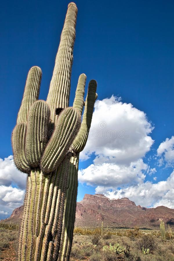 Кактус Saguaro встречает горы суеверия стоковая фотография