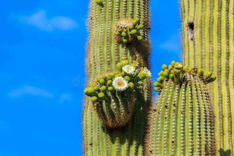 Кактус Saguaro Airzonan в цветени стоковые изображения