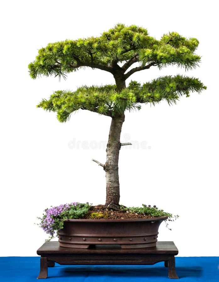 как вал Кипра conifer кедра бонзаев стоковая фотография rf