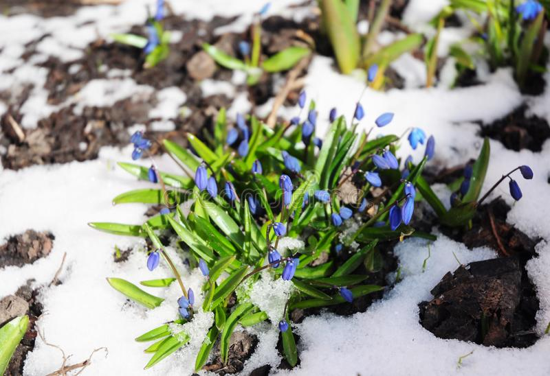 Как вырасти snowdrops Первый Squill цветков весны покрыл снег стоковые изображения
