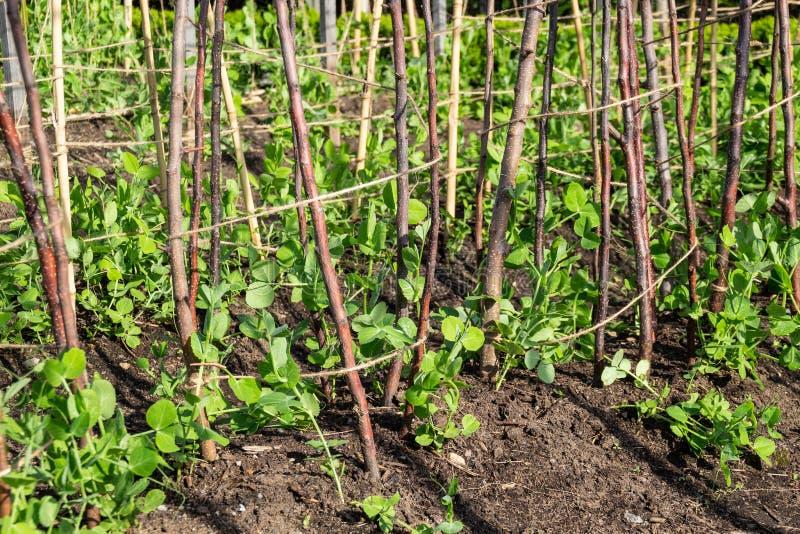 Как зеленые горохи растя в огороде стоковые изображения rf