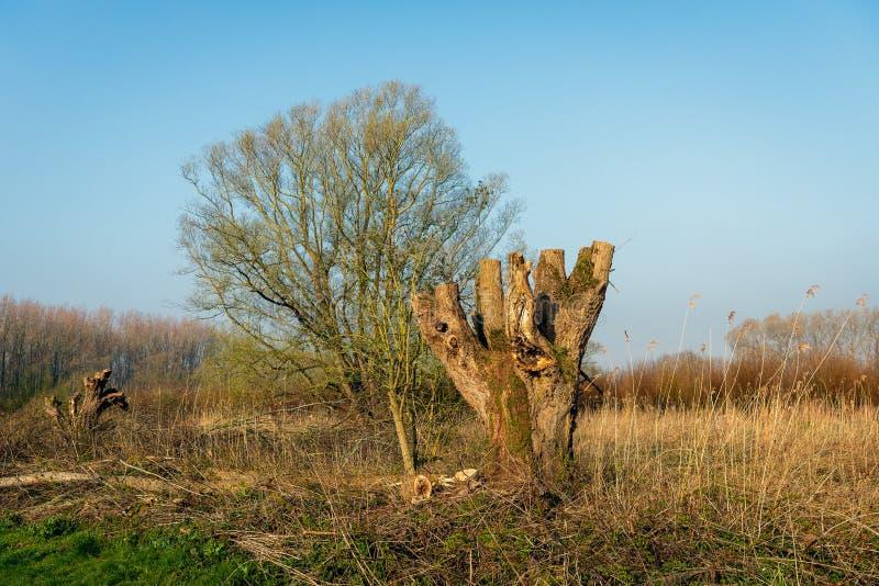 Как раз подрезанное старое дерево вербы Полларда в заповеднике стоковые фото