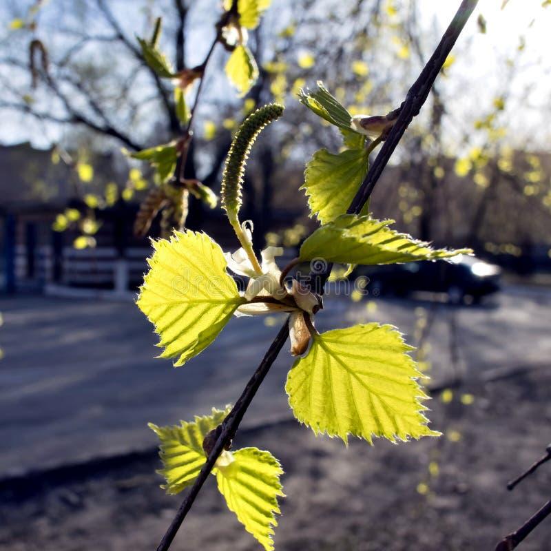 Как раз blossomed, листья и бутоны березы стоковое изображение