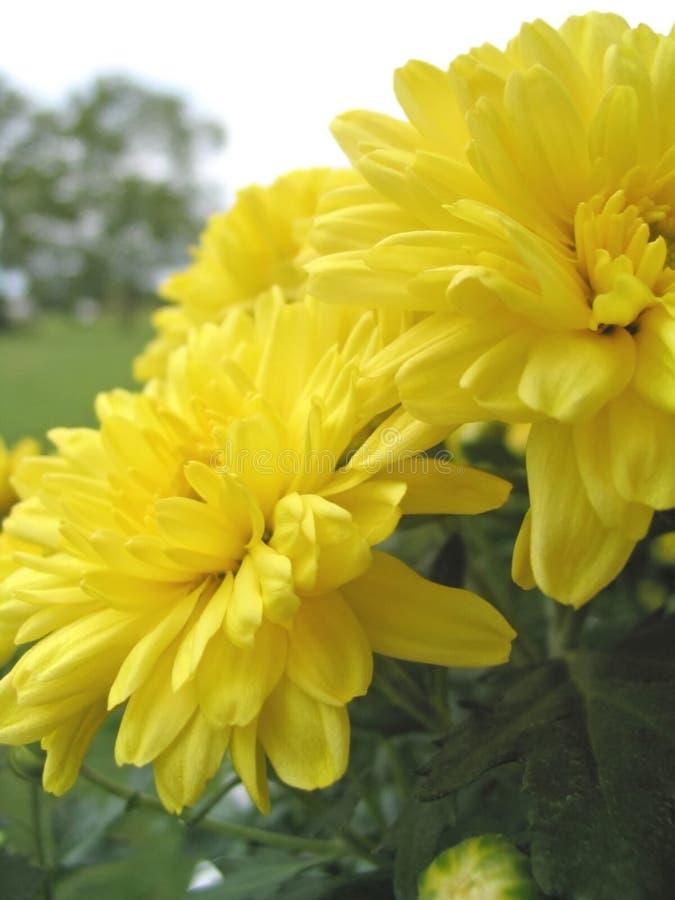 как солнечность цветков стоковая фотография