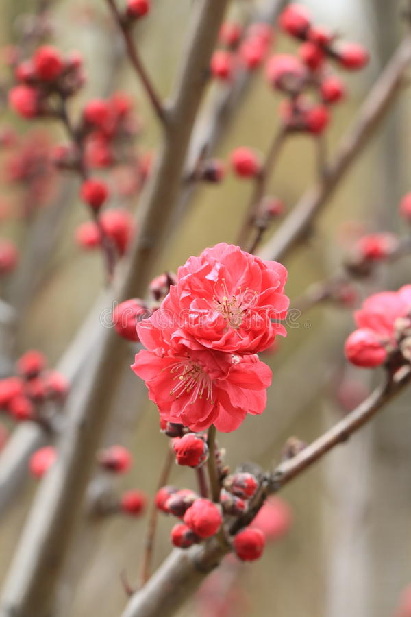 Как цветение персика стоковое изображение rf