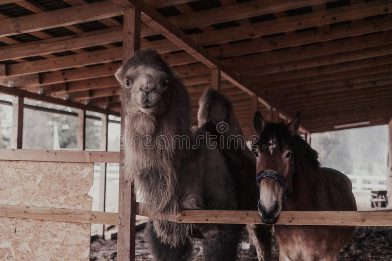Камаль и лошадь стоковая фотография
