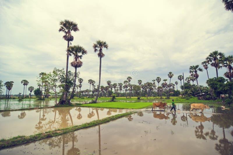 камбодец cows рис малыша поля скрещивания стоковая фотография
