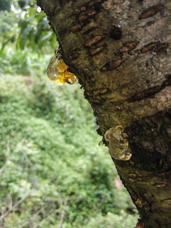 Камедь персика стоковое фото rf