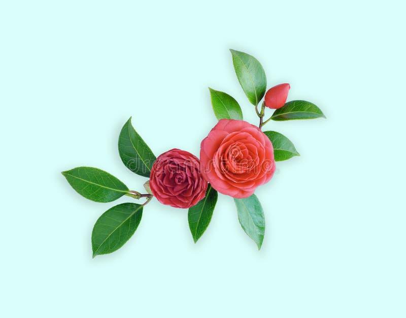 Камелия, на зеленоголубой предпосылке Wi цветка весны японские стоковое фото