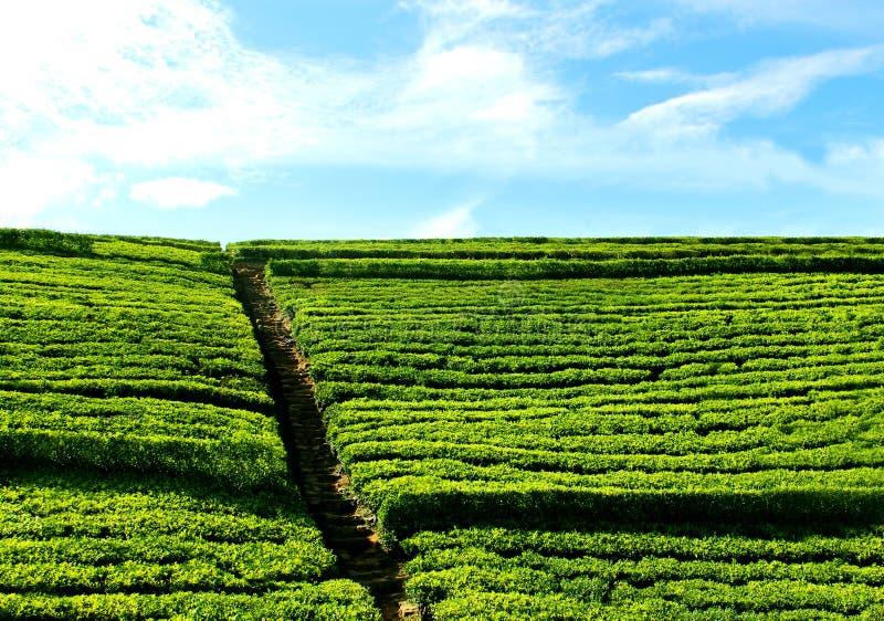 Каменные лестницы к небу от зеленого чая field стоковая фотография