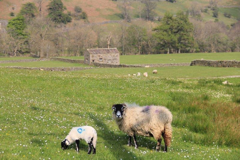 Каменный амбар с овцами стоковые изображения rf