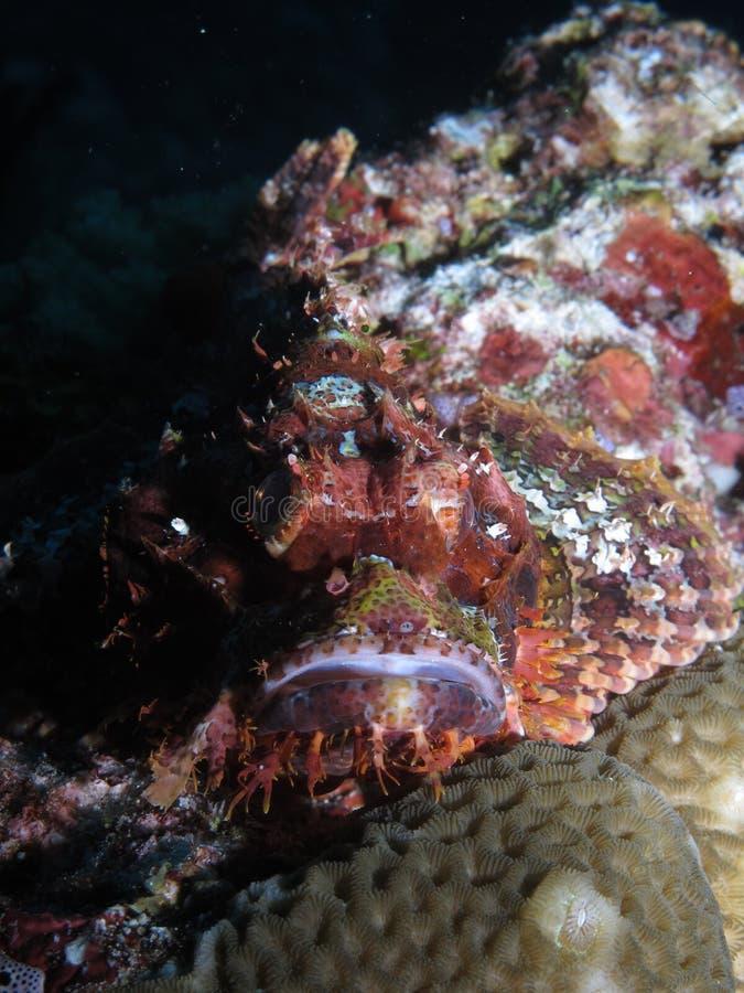 камень Северного моря адриатических annimal опасных рыб людской подводный очень стоковая фотография
