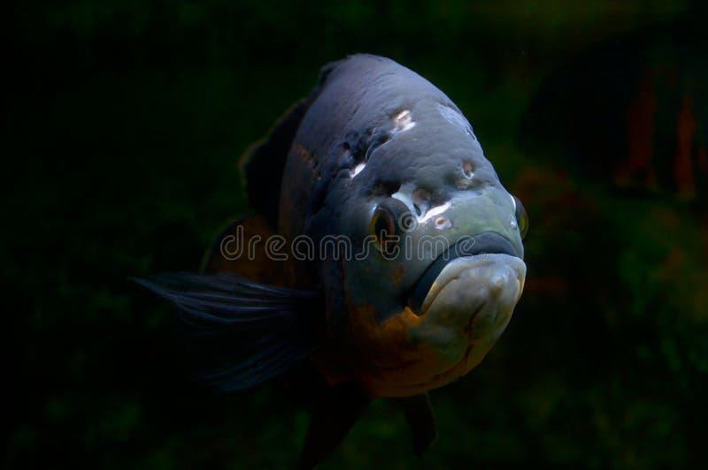 камень Северного моря адриатических annimal опасных рыб людской подводный очень стоковое фото