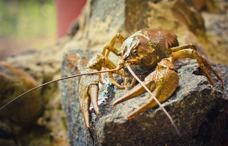 камень crawfish стоковая фотография rf