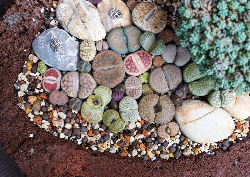 Камень Lithops живущий стоковое изображение rf