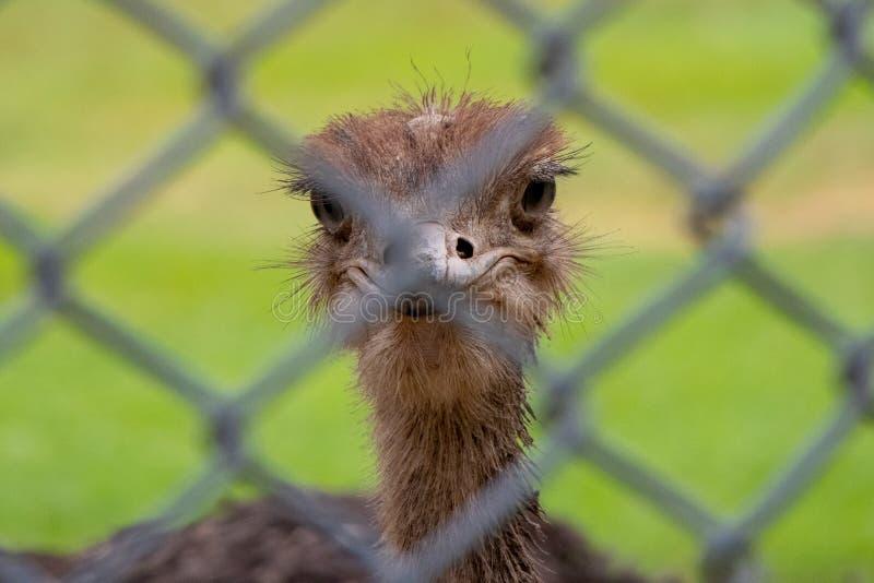 Камера вытаращиться страуса стоковое фото