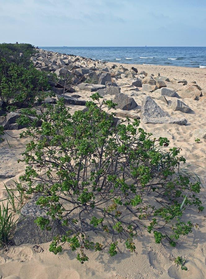 Камни и кустарники на прибалтийском побережье в Польше стоковое изображение rf