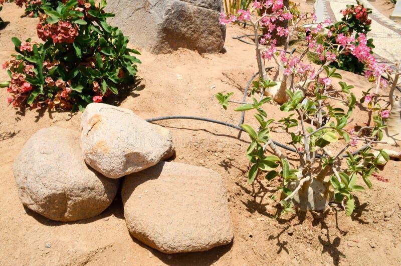 3 камни и цветка завода на песке в пустыне с зелеными листьями стоковые изображения rf