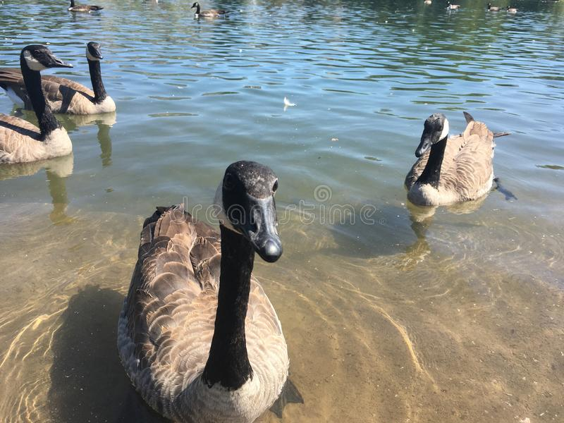 Канада Goose смотрит на камеру, Sugar House Park, Salt Lake City, Utah, США стоковая фотография