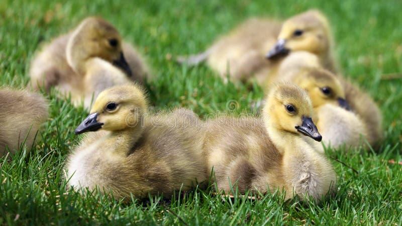 Канадская гусыня с цыпленоками, гусынями с гусятами идя в зеленую траву в Мичигане во время весны стоковые фотографии rf