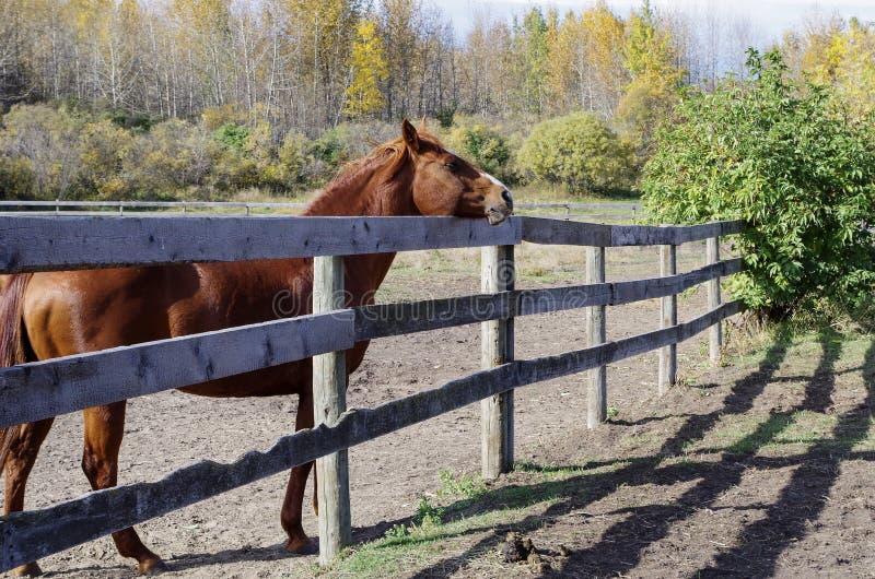 Канадская лошадь гонок бочонка стоковые фотографии rf