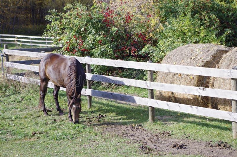 Канадская лошадь гонок бочонка стоковое изображение rf