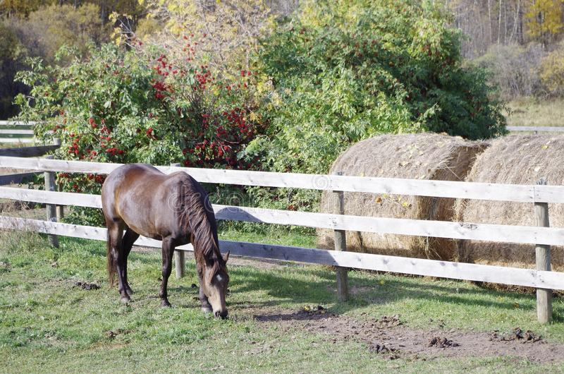 Канадская лошадь гонок бочонка стоковое фото