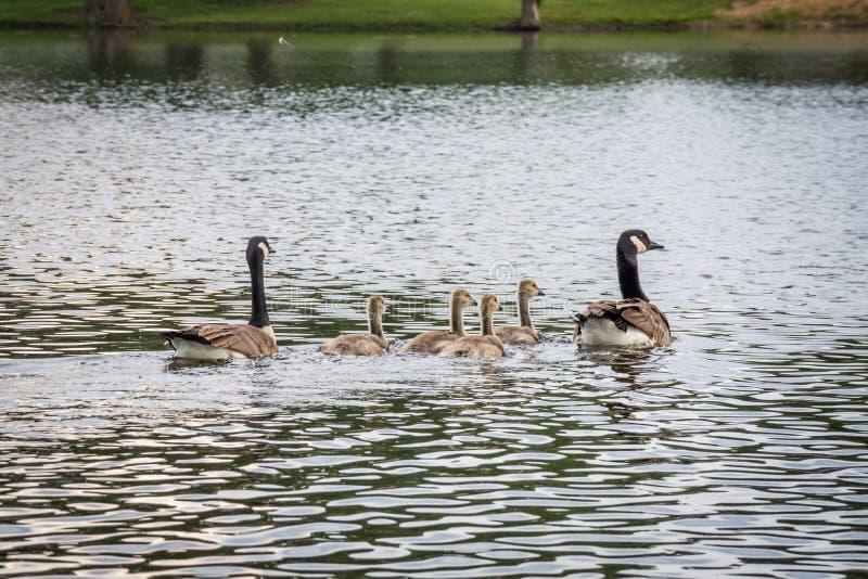Канадские гусыни в озере Katy Ален, Неваде стоковая фотография rf