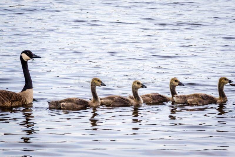 Канадские гусыни в озере Katy Ален, Неваде стоковые фото