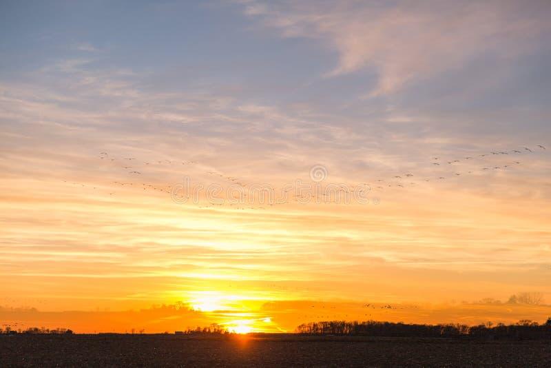 Канадские гусыни летая над страной Fields в золотую зиму Солнце стоковое фото
