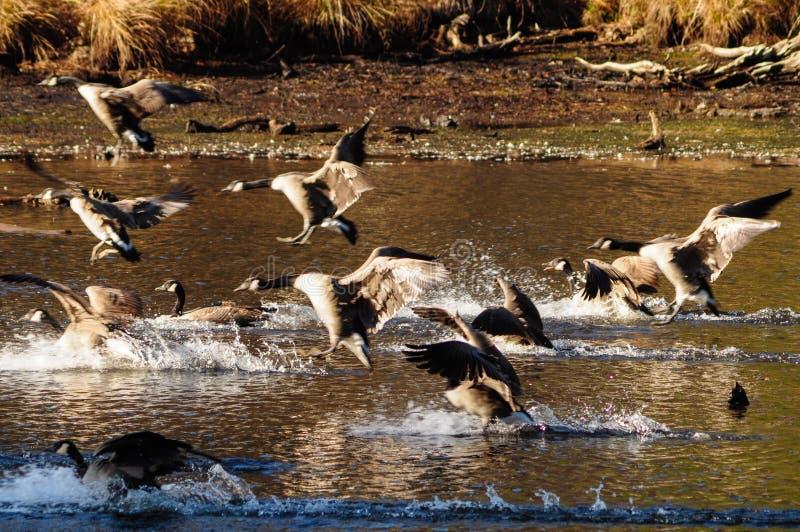 Канадские гусыни, чёрная казарка Canadensis, приземляясь на пруд Delgian на лагере Saratoga, Wilton, Нью-Йорк, США стоковые фото